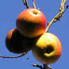 Apples on a leafless apple tree, November 2004