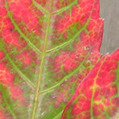 Parthenocissus henryana, autumn 2005