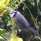 Blue tit in winter, on Mahonia