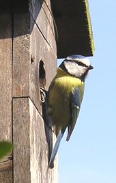 Blue tit (male) at nest box - 2