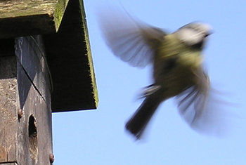Blue tit in flight, leaving nest box
