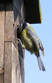 Blue tit (male) at nest box - 4