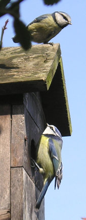 The pair of blue tits at the nest box - 1