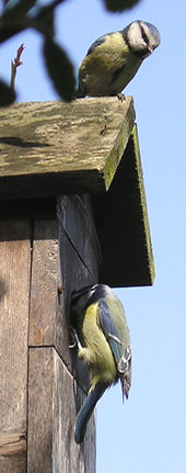 The pair of blue tits at the nest box - 2