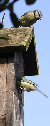 The pair of blue tits at the nest box - 3