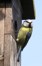 Blue tit (male) at nest box - 3