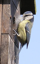 Blue tit (female) with nesting materials, at nest box - 1