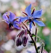Borage, summer 2002. Beloved by bees, and I'm rather fond of it too.