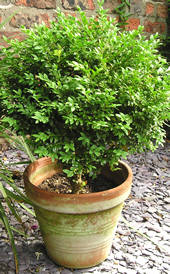Buxus sempervirens (Common Box)