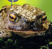 Common Toad (Bufo bufo). Copyright: Peter Parks/ imagequest3d.com