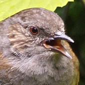 Dunnock, July 2007
