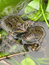 Frogs mating - three's a crowd: 3