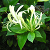 Honeysuckle, summer 2006