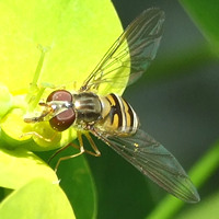 Hoverfly on euphorbia, July 2007