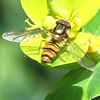 Hoverfly on euphorbia