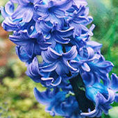 Hyacinth, Delft Blue, April 2002