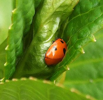 ladybird-hydrangea-070412_350338.jpg