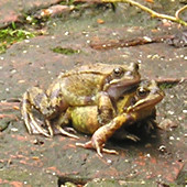 Mating frogs on garden path