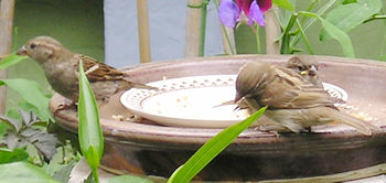 Group of sparrows, adults and young, feeding in the garden, June 2004