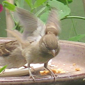 Sparrow with open wings landing on the bird table