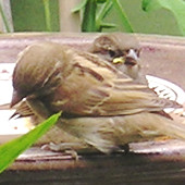 Sparrows feeding in the garden, June 2004.
