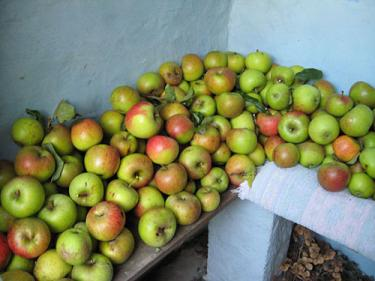 Piles of apples on bench against blue wall