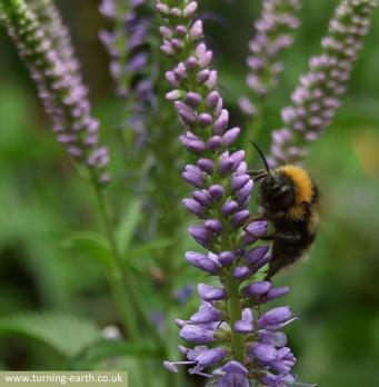 bee-on-veronica-longifolia-240713.jpg