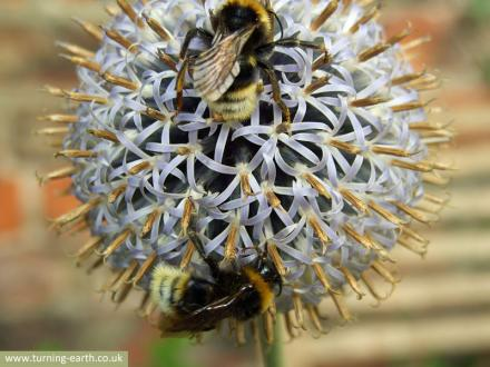 bees-on-globe-thistle-250713.jpg