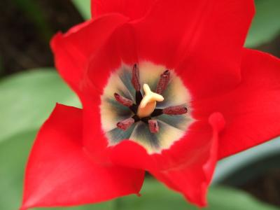 Red tulip, white centre, dark stamens, close-up