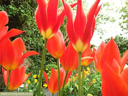 tulips-280414.jpg